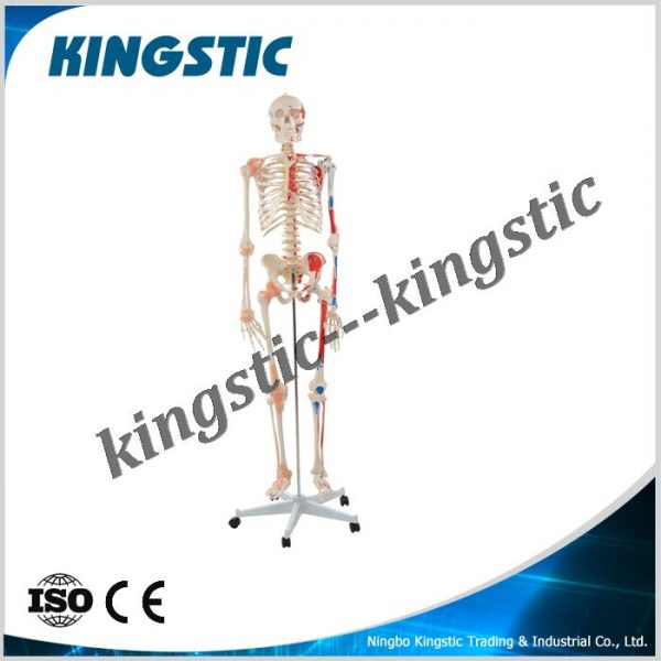 cbm-001b-human-skeleton-model-with-colored-muscle-and-ligament-1