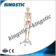 cbm-001b-human-skeleton-model-with-colored-muscle-and-ligament-2