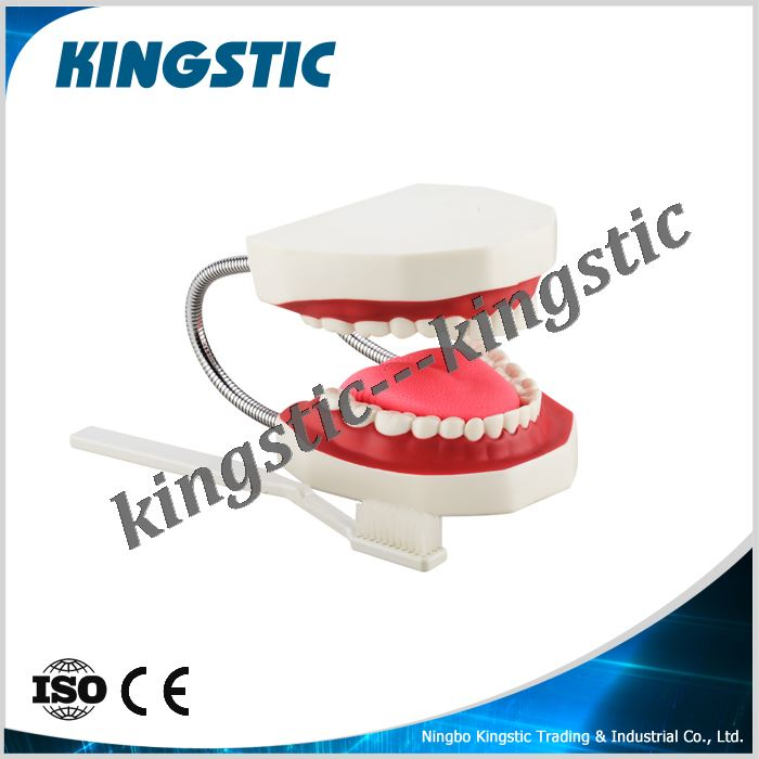 cbm-002a-3-dental-care-model-32-teeth-with-toothbrush